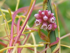 paraziticke rostliny condiloame la semnele bărbaților