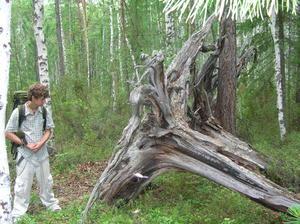 alt: Stále lze najít stromy vyvrácené někdejší katastrofou. Archiv G. Kletetschky