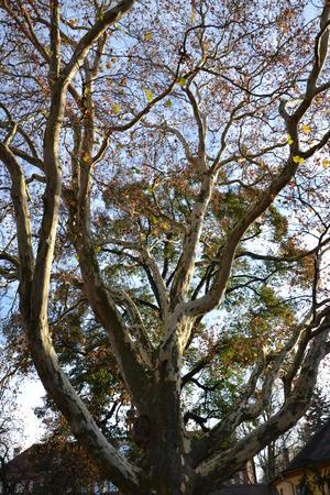 alt: Platan javorolistý v zámeckém parku v Protivíně. Zdroj Wikimedia Commons, autor Jirmina - vlastní dílo, CC BY-SA 3.0