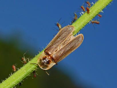 alt: Sameček světlušky větší (*Lampyris noctiluca*). Zdroj Wikimedia Commons, autor Hectonichus, licence Creative Commons Attribution-Share Alike 3.0 Unported.