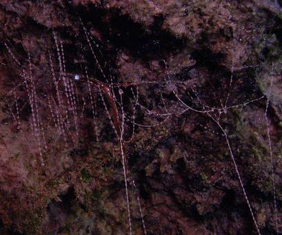 alt: Larva novozélandské mušky rodu *Arachnocampa* uprostřed lepivých vláken, do nichž chytá kořist. Foto Petr Janšta.