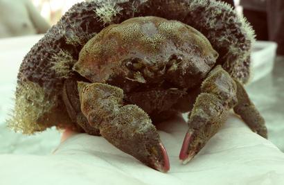 alt: Krab *Dromia personata*, který žije ve Středozemním moři, Severním moři a severovýchodním Atlantiku. Foto Radek Lüftner.