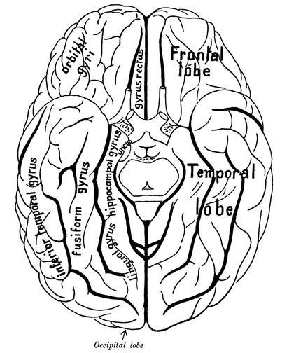 alt: Pohled na hemisféry lidského mozku ze spodní strany. Závit gyrus fusiformis, patrně hlavní centrum zpracovávající informace o tvářích, je zde označen jako ,,fusiform gyrus