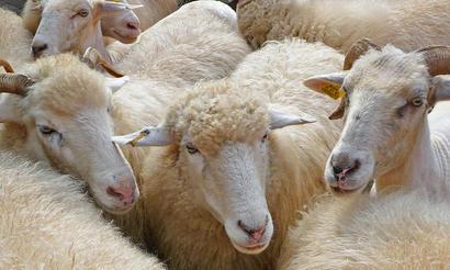 alt: Ovce jsou překvapivě šikovné, pokud jde o rozeznávání obličejů - ovčích i jiných. Zdroj Wikimedia Commons, autor 3268zauber, úpravy Jan Kolář, licence CC BY-SA 3.0.
