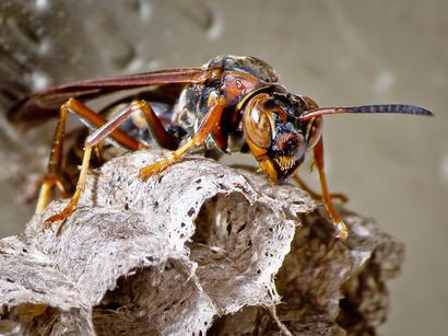 alt: Vosík *Polistes fuscatus* žije v severní a střední Americe. Zdroj Wikimedia Commons, autor Ken Thomas, volné dílo / Public Domain.
