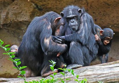 alt: Šimpanzi mají bohatý společenský život, takže je pro ně důležité poznat jednotlivé členy tlupy. Zdroj Wikimedia Commons, autor Bjoertvedt, úpravy Jan Kolář, licence CC BY-SA 4.0.