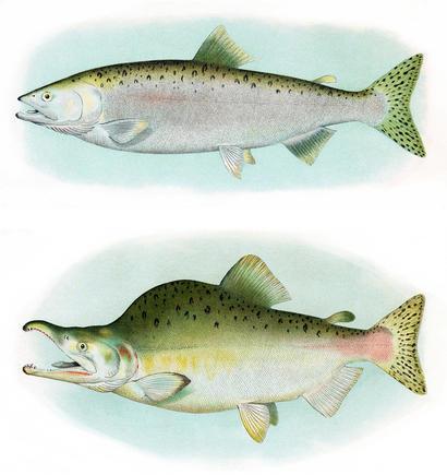 alt: Samec lososa gorbuši během života v moři (*nahoře*) a v době rozmnožování (*dole*). Samci nejen změní zbarvení, ale také jim naroste hrb na hřbetě a jejich čelisti se zvětší a zakřiví. Zdroj Wikimedia Commons / B. W. Evermann, E. L. Goldsborough (1907): The Fishes of Alaska, volné dílo / Public Domain.