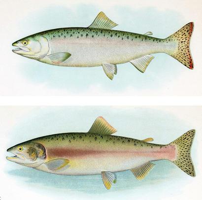 alt: Samice lososa gorbuši během života v moři (*nahoře*) a v době rozmnožování (*dole*). Hlavní změnou je červenější zbarvení těla. Zdroj Wikimedia Commons / B. W. Evermann, E. L. Goldsborough (1907): The Fishes of Alaska, volné dílo / Public Domain.