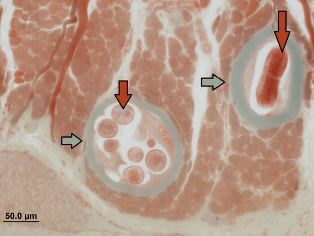 alt: Detail řezu jazykem potkana, který byl infikován svalovcem. Červené šipky označují stočené larvy, šedé šipky ukazují na kolagenní pouzdra vytvořená kolem parazita. Foto: Tomáš Macháček.