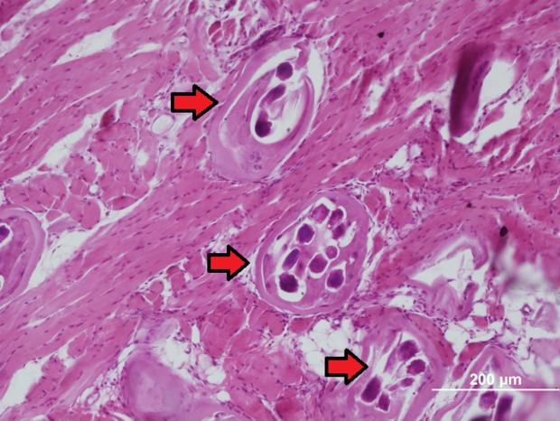 alt: Řez svalovinou jazyka laboratorního potkana experimentálně infikovaného svalovcem. Šipky ukazují na pouzdra se stočenými, vícekrát proříznutými larvami. Foto: Tomáš Macháček.